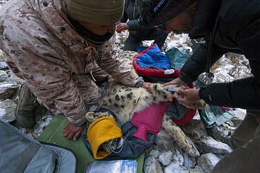 Snow Leopard (Panthera uncia) veterinarian, Ric Berlinski, and ranger, Urmat Solokov, drawing blood during collaring of male snow leopard, Sarychat-Ertash Strict Nature Reserve, Tien Shan Mountains, e...