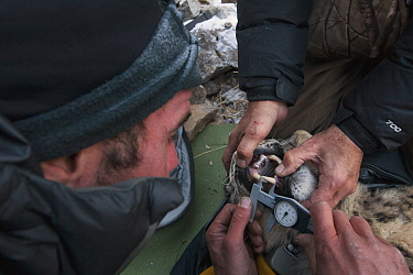 Snow Leopard (Panthera uncia) biologist, Shannon Kachel, and veterinarian, Ric Berlinski, measuring canine tooth of male during collaring, Sarychat-Ertash Strict Nature Reserve, Tien Shan Mountains, e...