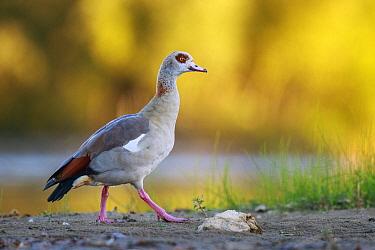 Egyptian Goose (Alopochen aegyptiacus), North Rhine-Westphalia, Germany