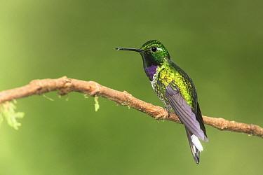 Purple-bibbed Whitetip (Urosticte benjamini) male, Tandayapa Valley, Ecuador