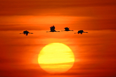 Common Crane (Grus grus) group flying at sunset, Mecklenburg-Vorpommern, Germany