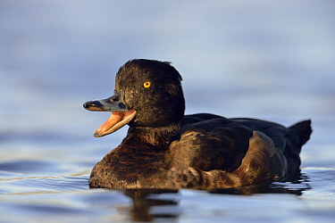Tufted Duck (Aythya fuligula) female calling, North Rhine-Westphalia, Germany
