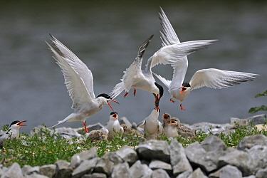 Common Tern (Sterna hirundo) parent feeding chicks, Netherlands