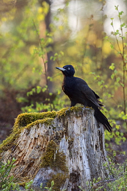 Black Woodpecker (Dryocopus martius) female, Sweden