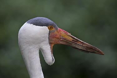 Wattled Crane (Bugeranus carunculatus), native to Africa