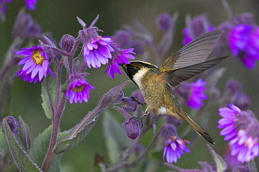 Buffy Helmetcrest (Oxypogon stuebelii) male feeding on flower nectar, Los Nevados National Natural Park, Colombia