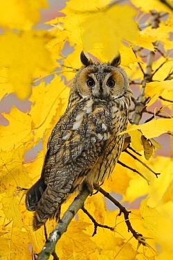 Long-eared Owl (Asio otus), North Rhine-Westphalia, Germany