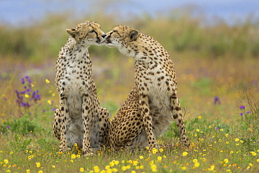 Cheetah (Acinonyx jubatus) females licking each other, native to Africa and Asia