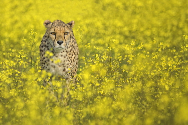Cheetah (Acinonyx jubatus) in blooming meadow, native to Africa and Asia