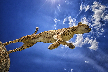 Cheetah (Acinonyx jubatus) female jumping down from rock, native to Africa and Asia