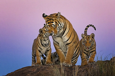 Tiger (Panthera tigris) female with cubs, native to Asia