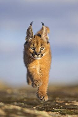 Caracal (Caracal caracal) cub running, native to Africa and Asia