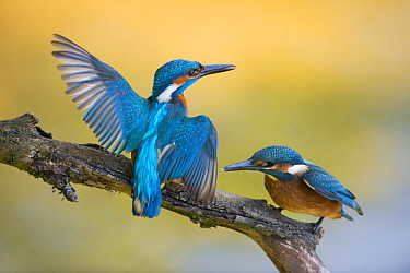 Common Kingfisher (Alcedo atthis) parent spreading wings near fledgling, North Rhine-Westphalia, Germany