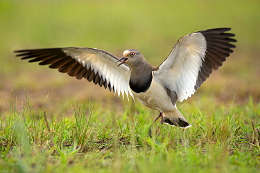 Black-winged Lapwing (Vanellus melanopterus) calling during defensive display, KwaZulu-Natal, South Africa