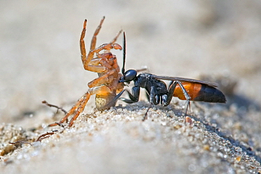 Spider Wasp (Anoplius infuscatus) dragging paralysed spider prey, Saxony-Anhalt, Germany