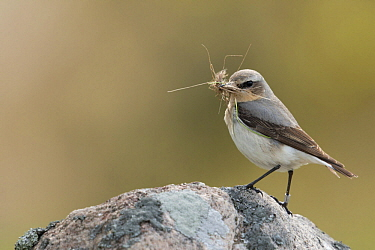 Northern Wheatear (Oenanthe oenanthe) male with insect prey, Sweden