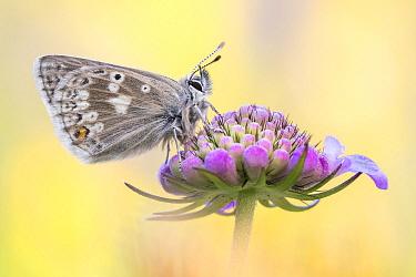 Glandon Blue (Agriades glandon) butterfly, Valais, Switzerland