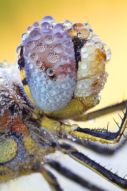 Red-veined Darter (Sympetrum fonscolombii) dragonfly compound eye covered with dew, Hesse, Germany
