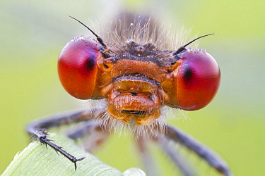 Damselfly (Erythromma sp) head and compound eyes, Hesse, Germany