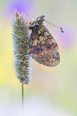 Lesser Marbled Fritillary (Brenthis ino) butterfly, Valais, Switzerland