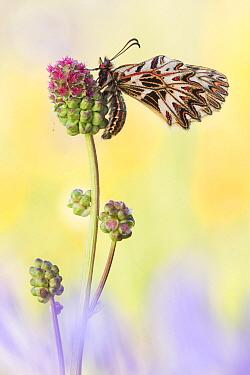 Southern Festoon (Zerynthia polyxena) butterfly, Hungary
