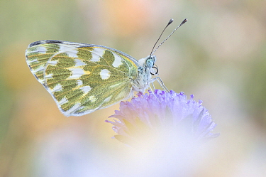 Eastern Bath White (Pontia edusa) butterfly, Dalmatia, Croatia