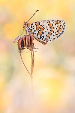 Spotted Fritillary (Melitaea didyma) butterfly, Dalmatia, Croatia