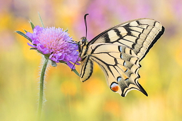 Oldworld Swallowtail (Papilio machaon) butterfly, Hesse, Germany