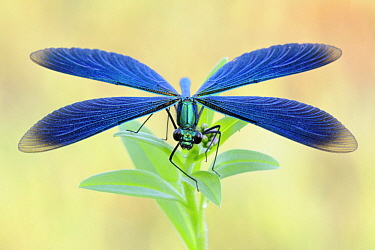 Beautiful Demoiselle (Calopteryx virgo), North Rhine-Westphalia, Germany