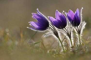 Dane's Blood (Pulsatilla vulgaris) flowering, North Rhine-Westphalia, Germany