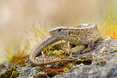 Sand Lizard (Lacerta agilis), North Rhine-Westphalia, Germany