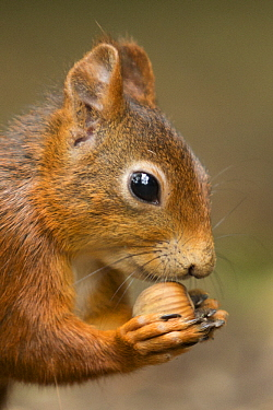 Eurasian Red Squirrel (Sciurus vulgaris) feeding on hazelnut, Netherlands