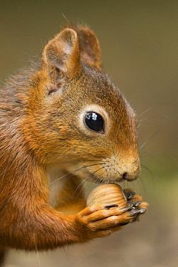 Eurasian Red Squirrel (Sciurus vulgaris) feeding on hazelnut, Netherlands