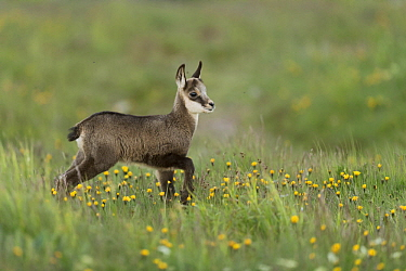 Chamois (Rupicapra rupicapra) fawn in meadow, France