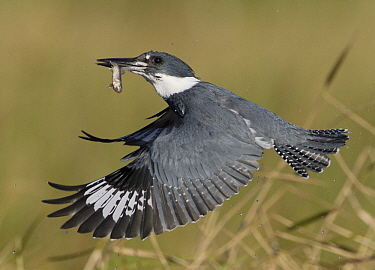 Belted Kingfisher (Megaceryle alcyon) male flying with fish prey, Florida