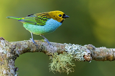 Gilt-edged Tanager (Tangara cyanoventris), Atlantic Rainforest, Brazil