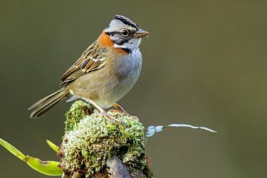 Rufous-collared Sparrow (Zonotrichia capensis), Atlantic Rainforest, Brazil