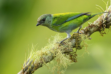 Black-capped Tanager (Tangara heinei), Colombia