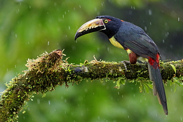 Collared Aracari (Pteroglossus torquatus) during rainfall, Costa Rica