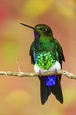 Glowing Puffleg (Eriocnemis vestitus) hummingbird, Colombia