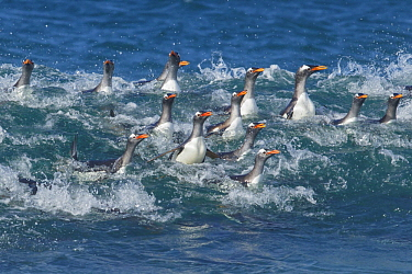 Gentoo Penguin (Pygoscelis papua) group surfing, Falkland Islands