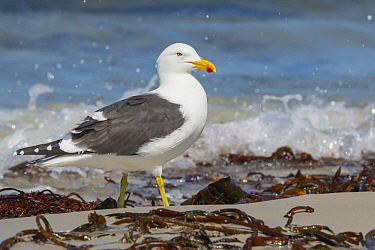 Kelp Gull (Larus dominicanus) on beach, Falkland Islands