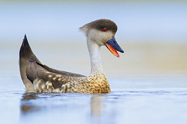Crested Duck (Lophonetta specularioides) in defensive display, Falkland Islands