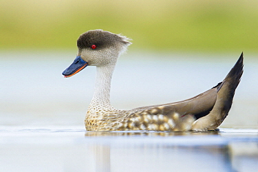 Crested Duck (Lophonetta specularioides) on pond, Falkland Islands