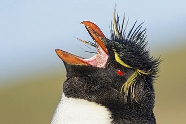 Southern Rockhopper Penguin (Eudyptes chrysocome) calling, Falkland Islands