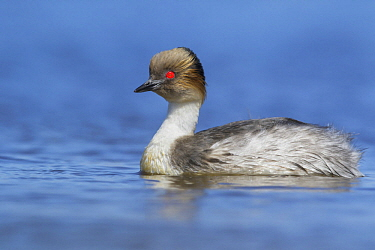 Silvery Grebe (Podiceps occipitalis) on pond, Falkland Islands