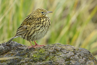 South Georgia Pipit (Anthus antarcticus), South Georgia Island