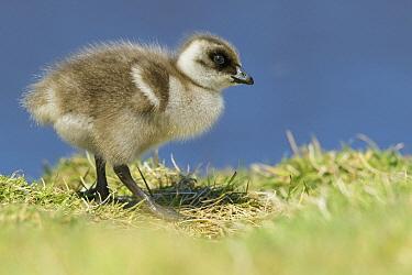 Upland Goose (Chloephaga picta) chick, Falkland Islands