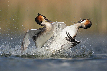 Great Crested Grebe (Podiceps cristatus) pair fighting over territory, North Rhine-Westphalia, Germany