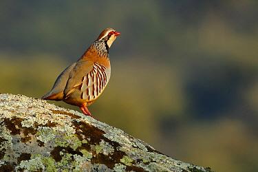 Red-legged Partridge (Alectoris rufa) male, Cadiz, Spain